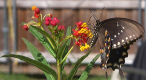 Photo of a black swallowtail butterfly in Butterfly weed plant. Close up photo of a black swallowtail butterfly and a Butterfly weed plant royalty free stock photo