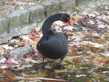 Black swan on the bank of the lake in St James` Park stock images
