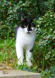 Black and white cat standing next to the bush. Photo of a black and white cat standing next to the bush Royalty Free Stock Photos