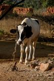 A black and white cow tied up. A photo of a black and white cow tied up in an Indian village Royalty Free Stock Photos