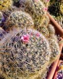 Photo of a blooming cactus Royalty Free Stock Images