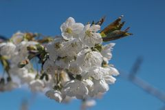Photo of blooming cherry tree stock images