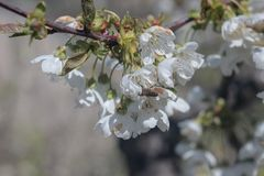 Photo of blooming cherry tree royalty free stock image