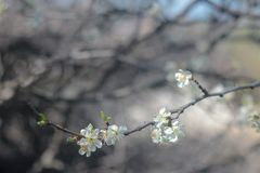 Photo of blooming cherry tree royalty free stock photo