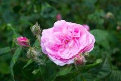 Rose flower pink Stock Photos
