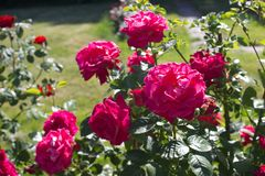 Rose pink royalty free stock photos