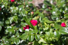 Rose red Royalty Free Stock Images