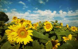 Photo of blooming sunflower field Stock Photography