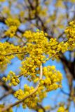 Photo of blooming yellow twig dogwood in garden in spring Royalty Free Stock Photography