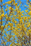 Photo of blooming yellow twig dogwood in garden in spring Stock Photos