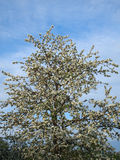 Photo of a blossoming apple tree Royalty Free Stock Images