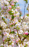 Photo of blossoming tree brunch Stock Photos