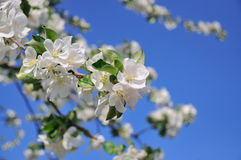 Photo of blossoming tree. Brunch with white flowers Stock Photo