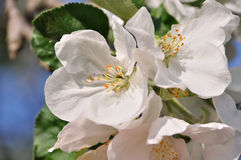 Photo of blossoming tree. Brunch with white flowers Royalty Free Stock Photography