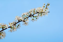 Photo of blossoming tree brunch with white flowers Royalty Free Stock Photos