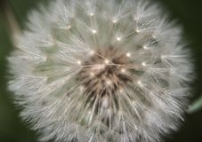 Photo of Blow ball in Spring Royalty Free Stock Photo