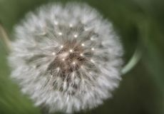 Photo of Blow ball in Spring Royalty Free Stock Images