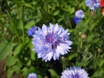 Photo blue cornflower in the field, Photo of blue flower. Russian wildflowers Royalty Free Stock Image