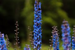 Photo of blue flowers on the field in soft focus royalty free stock photography