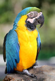 Photo blue macaw Royalty Free Stock Image
