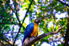 Birds of Parque Das Aves. Photo of a blue and yellow macaw, in Brazil. The picture was taken at Parque Das Aves royalty free stock images