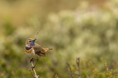 Bluethroat in willows. This is a photo of a Bluethroat in Dovrefjell National park in Norway stock photo