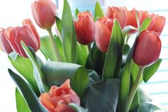 Delicate photo of a bouquet of coral tulips royalty free stock images