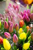 Photo of a bouquet of tulips. Bulbous spring-flowering plant of stock image