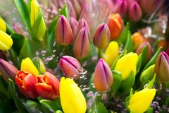 Photo of a bouquet of tulips. Bulbous spring-flowering plant of stock photos
