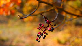 Photo branch with berries on a background of autumn forest Stock Photo