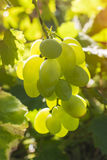 Photo of a branch of green grapes Royalty Free Stock Images