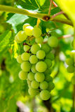 Photo of a branch of green vine grapes. Photo of a beautiful branch of green vine grapes Stock Photo