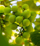 Photo of a branch of green vine grapes. Photo of a beautiful branch of green vine grapes Royalty Free Stock Images