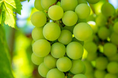 Photo of a branch of green vine grapes. Photo of a beautiful branch of green vine grapes Stock Image