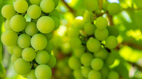 Photo of a branch of green vine grapes. Photo of a beautiful branch of green vine grapes Stock Photos