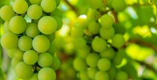 Photo of a branch of green vine grapes Stock Photography