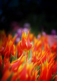 Photo of bright fiery tulips Royalty Free Stock Photography