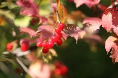 Photo of a bright macro red viburnum Stock Photography