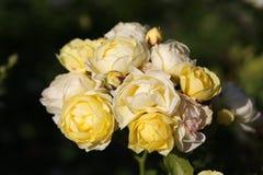 Photo bright roses Stock Photos