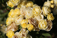 Photo bright roses Stock Image