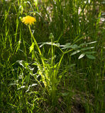 Photo of the bright summer sun a lone yellow flower - dandelion Royalty Free Stock Photo