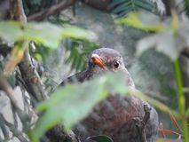 Baby british blackbird hiding in the tree Stock Photos