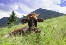 Photo of brown cow lying on meadow in mountains royalty free stock photography