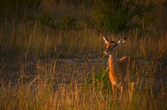 Photo of Brown Deer during Sunset