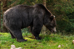 Photo of brown grizzly bear in forest. Stock Photo