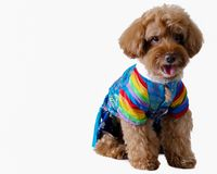 An adorable brown poodle wearing Korean style dress for dog. royalty free stock images