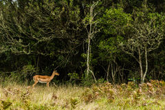 A photo of a buck at the edge of a forest. In Port Elizabeth, South Africa Stock Photography
