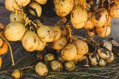A bunch of yellow coconuts is on sale laying on the palms leafs. Photo of a bunch of yellow sale coconuts, maked in India. Natural coconuts laying on the palms Royalty Free Stock Image