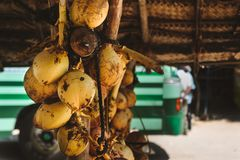 A bunch of yellow coconuts is on sale. Photo of a bunch of yellow saling coconuts Royalty Free Stock Images