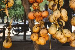A bunch of yellow coconuts is on sale. Photo of a bunch of yellow saling coconuts, maked in India Royalty Free Stock Images